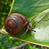 Macro Snail found in Andromeda Gardens, Barbados