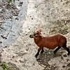 Black Belly Goat - Barbados