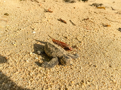 Rare daytime sea turtle hatching at Weston House, Barbados