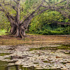 Old Trees along the Lily Pond