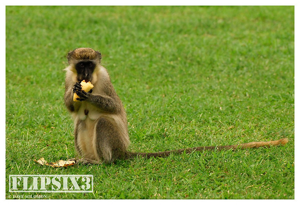 Barbados Green Monkey - common across much of the island, and regular visitors to our accommodation in small troupes