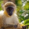 A Bajan Green Monkey eating Melon