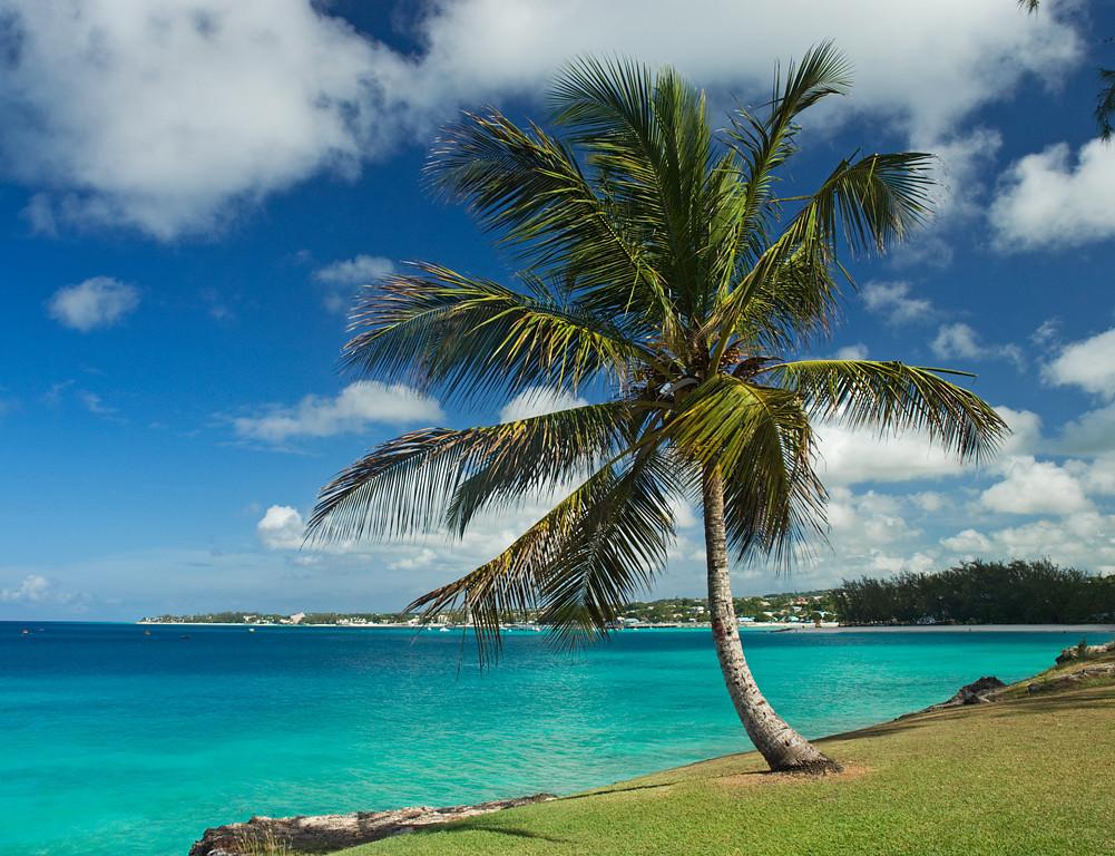 Barbados Palm