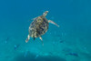 Snorkeling with Hawksbill Turtles and fishes.