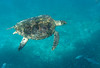 Nice clear close up of this endangered hawksbill.
