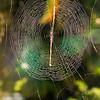 Pretty Bajan Light - Spider's Web