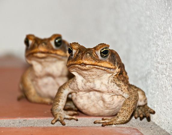 Bajan Toads