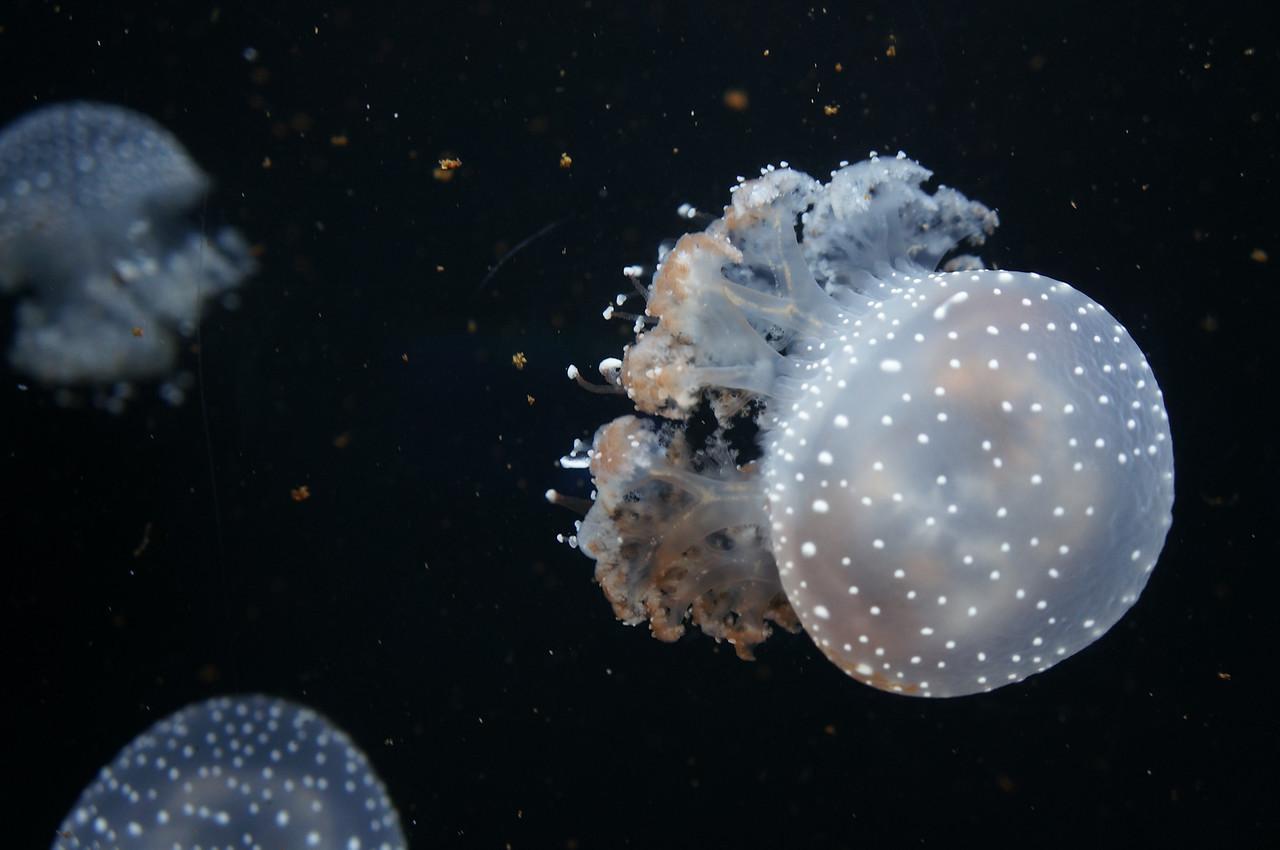 Jellyfish at the aquarium in Barcelona.