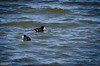 American Coots, for instance,