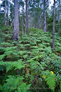 Ferns, Barrington Tops, NSW