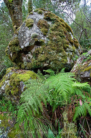 Moss and ferns, Barrington Tops, NSW