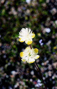 3/6/05 Cream Cups (Platystemon californicus). Hills on north side of Wilson Valley Road, between Hwy. 371 & Reed Valley Rd.). Northwest of Aguanga, Riverside County, CA