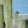 Tree Swallow at Adams Landing.