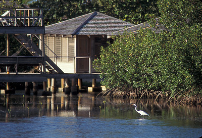 © Joseph Dougherty. All rights reserved.   Great Egret hunting in the shallows beside the red mangroves that hug the AKR cabanas on the Roatan mainland.