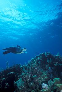 © Joseph Dougherty.  All rights reserved.  Eretmochelys imbricata  (Linnaeus, 1766) Hawksbill Sea turtle