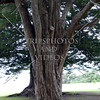 Tree on Waitangi Treaty Grounds in Bay of Islands, New Zealand.
