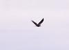 Immature golden eagle, Campobello