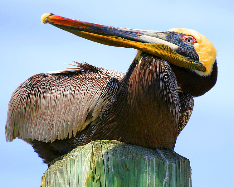 Brown Pelicans are the only dark pelicans.