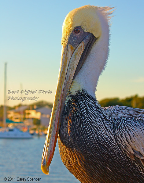 Pelican in Boat Harbor at Sunset