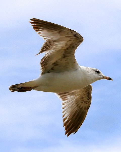 Communication between Herring Gulls is complex and highly-developed using calls and body language