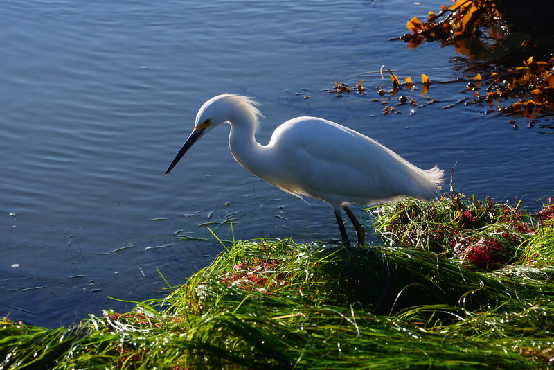 Egret searches for food in the tide pools at Ocean Beach.