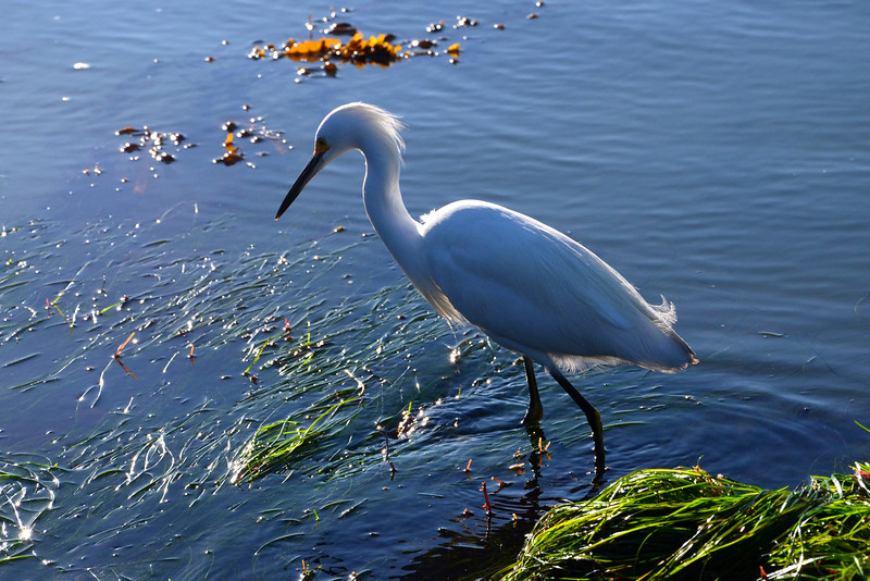 Egret in the tidepools in Ocean Beach, San Diego.