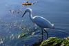 Egret in the tidepools in Ocean Beach, San Diego.