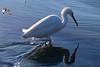 Egret in the tide pools near the pier in Ocean Beach, San Diego, Ca.