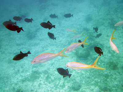 Yellow tail snappers and queen triggerfish