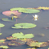 Lily Pads at Faldo Course at Hiolton Head Lakes