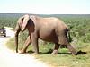 Elefanto läuft über Strasse