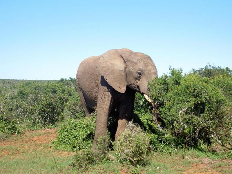 1. Elefant