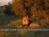 Löwe wacht langsam auf - Sonnenuntergang