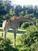 Giraffe bückt sich
