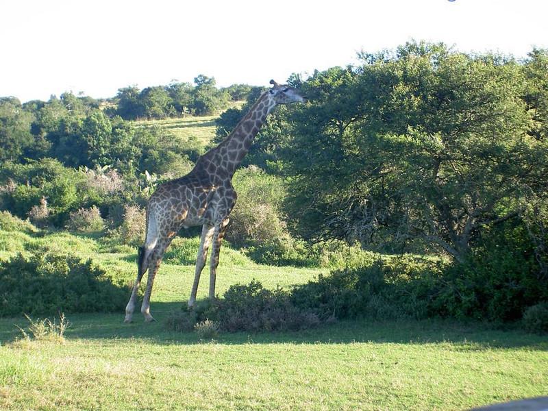 mehr Giraffe