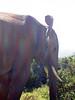 Afrikanischer Elefant weil Ohr so