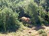 Warzenschwein - Warthog