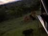 Löwe auf dem Weg zum Abendessen