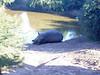 Faules Nashorn