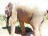 Elefanten-Arsch