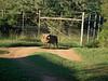 Warzenschwein auf dem Weg zur Toilette