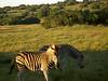 noch ein paar Zebras