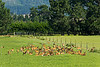 There are deer farms where they keep deer for food.