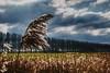 Reeds and poplars - Damme - West Flanders - Belgium<br /> <br /> Álamos y carrizos - Damme - Flandes Occidental - Bélgica<br /> <br /> Pappeln und Schilf - Damme - Westflandern - Belgien <br /> <br /> Peupliers et roseaux - Damme - Flandre Occidentale - Belgique<br /> <br /> Popelieren en riet - Damme - West-Vlaanderen - België