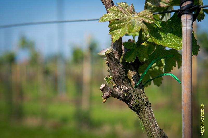 Hard job - Kruiseke - Wervik - West-Vlaanderen - Belgium<br /> <br /> Faenas - Kruiseke - Wervik - West-Vlaanderen - Bélgica<br /> <br /> Weekendwerk - Kruiseke - Wervik - West-Vlaanderen - België<br /> <br /> Weekend sur weekend passés dans les vignes par les viticulteurs - Kruiseke - Wervik - West-Vlaanderen - Belgique