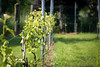 Some red wine vines - Kruiseke - Wervik - West-Vlaanderen - Belgium<br /> <br /> Vid para vino tinto - Kruiseke - Wervik - West-Vlaanderen - Bélgica<br /> <br /> Wijnranken met rode wijn druiven - Kruiseke - Wervik - West-Vlaanderen - België<br /> <br /> Vigne pour vin rouge - Kruiseke - Wervik - West-Vlaanderen - Belgique