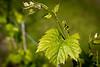 Future red wine - Kruiseke - Wervik - West-Vlaanderen - Belgium<br /> <br /> Futuro vino tinto - Kruiseke - Wervik - West-Vlaanderen - Bélgica <br /> <br /> Toekomstige rode wijn - Kruiseke - Wervik - West-Vlaanderen - België<br /> <br /> Futur vin rouge - Kruiseke - Wervik - West-Vlaanderen - Belgique