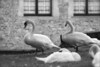 The swans of Brugge