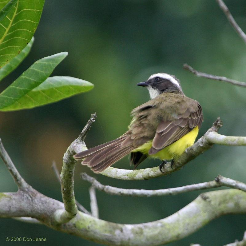 Social Flycatcher - everywhere.