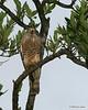 Roadside hawk, Dangriga. Very common.